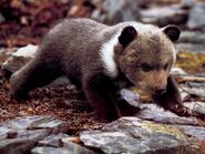 Grizzly-bear-cub-on-all-fours-1024x768