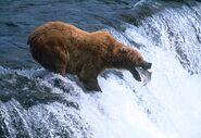 Brooks-brown-bear 8203