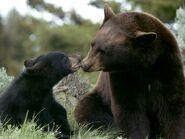 Black-bear 233 600x450