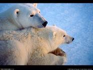 1160809811 1024x768 polar-bear