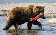 Brown-bear-catching-salmon