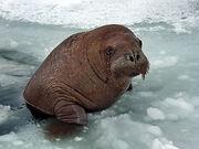 Young Walrus.jpg