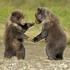 Bearcubsplaying.png