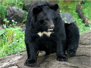 Asiatic-black-bear img01-l