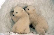 Polarbearcubslarge