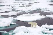 Sea ice polar bear