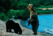 Bears-standing-lake-615 (1)