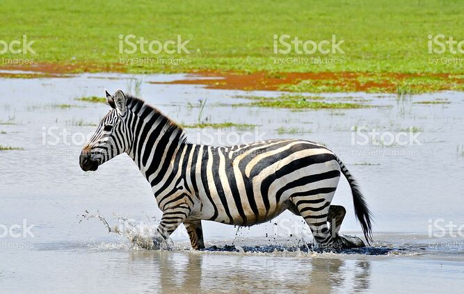 Plains Zebra in the Swamps of West Africa.jpg