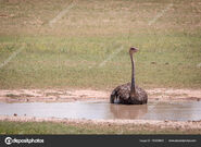 Depositphotos 154335640-stock-photo-ostrich-sitting-in-a-water