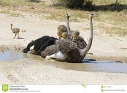 Family-ostriches-having-bath-hot-sun-kalahari-family-ostriches-having-bath-hot-sun-kalahari-107074621