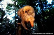 Silky Anteater Carrying Young