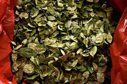 Coca Leaves (2007 Getty Images)