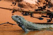 1200px-Green iguana (Iguana iguana)