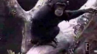 Monkey_Falls_out_of_tree