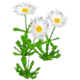 Wildflower Daisy.png