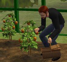 Jardinage Sims 2.jpg