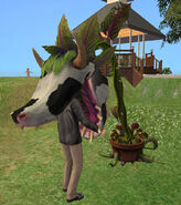 Laganaphyllis Simnovorii2