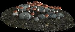 Blisterwort as it appears in caves