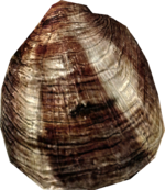 Clam2.png
