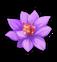 Violet lotus.png