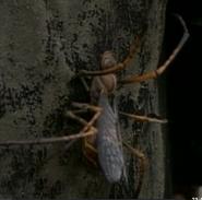 Spiderwasp2