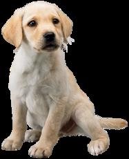 Art Labrador retriever Nintendogs + Cats.png