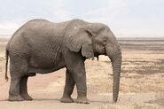 1200px-Loxodonta africana - old bull (Ngorongoro, 2009)