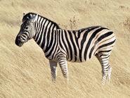 Common zebra 1
