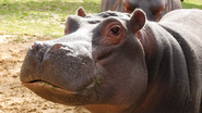 Hodor the hippo at ZSL Whipsnade Zoo