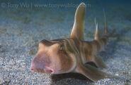 Japanese Bullhead Shark