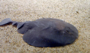 Pacific Electric Ray