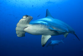 Ref: https://haydensanimalfacts.com/2015/10/30/5-interesting-facts-about-scalloped-hammerheads/