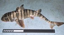 Ref: https://www.fishbase.de/Summary/SpeciesSummary.php?ID=746&AT=Bullhead+Shark