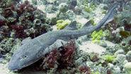 Bluegray-Carpet-Shark