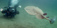 Diver with Pacific Ray