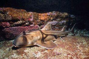Ref: https://www.floridamuseum.ufl.edu/discover-fish/species-profiles/heterodontus-portusjacksoni/
