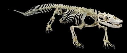 Komodo-dragon-skeleton-lg.jpg