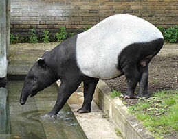 Malayan Tapir.jpg