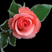 Rose PNG637.png