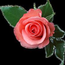 Rose PNG6377.png