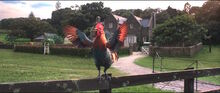 Rooster-thumb-700x295-192452.jpg