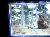 Hollywoodedge, Grunt 12 Male Straine PE133201