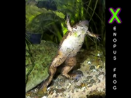 Animal Alphabet Song FROG - LARGE FROG