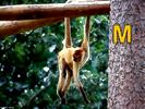 Animal Alphabet Song Chimpanzee Screams