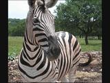 Hollywoodedge, Zebra Brays Multiple AT049801