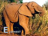 Sound Ideas, ELEPHANT - FOUR TRUMPETS, ANIMAL