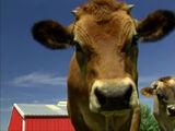 Sound Ideas, COW - CALF MOO, ANIMAL