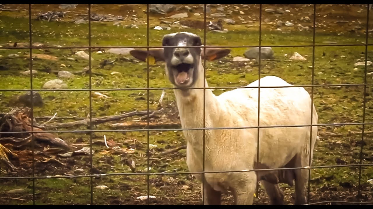 Goat Scream