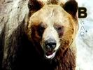 Animal Alphabet Song Sound Ideas, BEAR - LOUD ROAR, ANIMAL