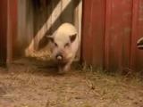 Sound Ideas, PIG - LOUD SHARP SQUEALS, ANIMAL